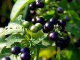 ガーデン・ハックルベリーのレシピ一覧